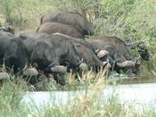 Buffalo Herd on the River