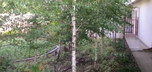 Birch Bush